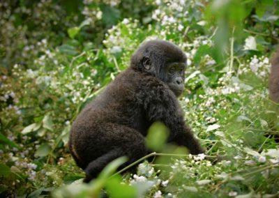 Safari – die letzten Berggorillas in Uganda